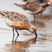 Lesser knot. Breeding plumage adult feeding. Manawatu River estuary, February 2000. Image © Alex Scott by Alex Scott
