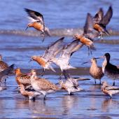 Lesser knot. Adults mostly in breeding plumage (with bar-tailed godwits). Manawatu River estuary, March 2013. Image © Alex Scott by Alex Scott