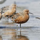 Lesser knot. Adult bird in breeding plumage with an intensity and prevalence of red feathering indicating it is likely to be of the subspecies piersmai. Manawatu River estuary, March 2013. Image © Phil Battley by Phil Battley