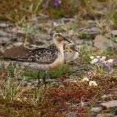 Lesser knot. Adult with chick in tundra. Seward Peninsula, Alaska, June 2009. Image © Craig Steed by Craig Steed