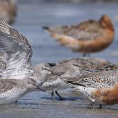 "Lesser knot. Mixed age group in breeding and non-breeding plumage. Adults in breeding plumage before northward migration with subadults that will not migrate. Note the almost-complete wing moult on the bird with its wings up, and the leg flag ""AKU"". Manawatu River estuary, March 2009. Image © Phil Battley by Phil Battley"