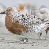 Lesser knot. Subspecies rogersi bird developing breeding plumage. Note the white vent and generally greyish colouration to the upperpart feathers. Manawatu River estuary, March 2012. Image © Phil Battley by Phil Battley