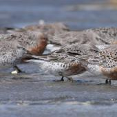 Lesser knot. Flock of adults and immatures facing into a strong westerly wind. Manawatu River estuary, March 2009. Image © Phil Battley by Phil Battley