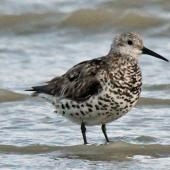 Great knot. Adult moving in to non-breeding plumage. Foxton Beach, November 2011. Image © Duncan Watson by Duncan Watson