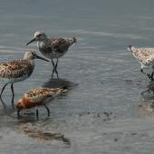 Great knot. Adults moulting into breeding plumage, with lesser knot in breeding plumage in foreground. Wundi, Taiwan, May 2009. Image © Nigel Voaden by Nigel Voaden http://www.flickr.com/photos/nvoaden/