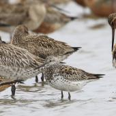 Great knot. Adult with bar-tailed godwits. Yalu Jiang National Nature Reserve, China, April 2010. Image © Phil Battley by Phil Battley