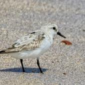 Sanderling. Adult. Floreana Island, Galapagos Islands, August 2016. Image © Rebecca Bowater by Rebecca Bowater FPSNZ AFIAP www.floraandfauna.co.nz