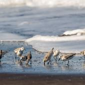 Sanderling. Small flock on the tide edge. Tortuguero, Costa Rica, February 2020. Image © Glenda Rees by Glenda Rees Glenda Reeshttps://www.facebook.com/NZBAONP/ https://www.flickr.com/photos/nzsamphotofanatic/