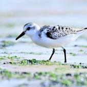 Sanderling. Juvenile. Cap Ferret, France, September 2017. Image © Cyril Vathelet by Cyril Vathelet