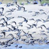 Sanderling. Flock landing. Baie de Somme, France, August 2017. Image © Cyril Vathelet by Cyril Vathelet