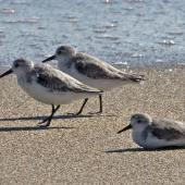 Sanderling. Three adults on beach. Jensen Beach, Florida, USA, November 2014. Image © Rebecca Bowater by Rebecca Bowater FPSNZ AFIAP www.floraandfauna.co.nz