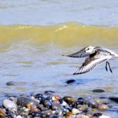 Sanderling. Juvenile in flight. Baie de Somme, France, August 2016. Image © Cyril Vathelet by Cyril Vathelet
