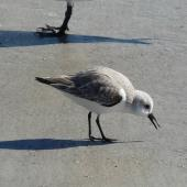 Sanderling. Adult in non-breeding plumage feeding. Cocoa Beach, Florida, December 2009. Image © Alan Tennyson by Alan Tennyson
