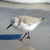 Sanderling. Adult in non-breeding plumage. Cocoa Beach, Florida, December 2009. Image © Alan Tennyson by Alan Tennyson