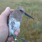 Dunlin. Juvenile in hand (long bill suggests female). Yukon Kuskokwim Delta, Alaska, September 2004. Image © Sarah Jamieson by Sarah Jamieson