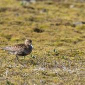 Dunlin. Adult in breeding plumage on tundra. Iceland, July 2012. Image © Sonja Ross by Sonja Ross