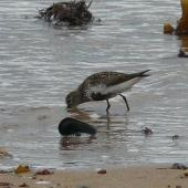 Dunlin. Adult in breeding plumage feeding. Little Ferry, Scotland, June 2012. Image © Alan Tennyson by Alan Tennyson