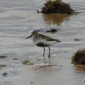 Dunlin. Adult in breeding plumage. Little Ferry, Scotland, June 2012. Image © Alan Tennyson by Alan Tennyson