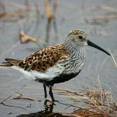 Dunlin. Adult in breeding plumage. Chukchi Sea coast, North Chukotka, June 2011. Image © Sergey Golubev by Sergey Golubev