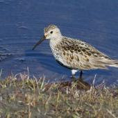 Dunlin. Adult (subspecies alpina) at breeding grounds. Svalbard, Norway, June 2019. Image © John Fennell by John Fennell