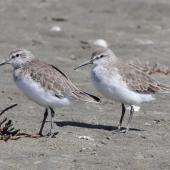 Curlew sandpiper. Pair of adults. Foxton Beach, March 2010. Image © Duncan Watson by Duncan Watson