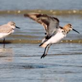 Curlew sandpiper. Non-breeding adult taking flight. Manawatu River estuary, October 2004. Image © Alex Scott by Alex Scott