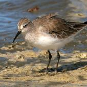 Curlew sandpiper. Non-breeding. Wanganui, March 2008. Image © Ormond Torr by Ormond Torr