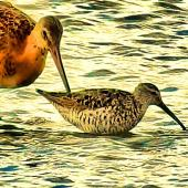 Stilt sandpiper. Adult in breeding plumage (right) with black-tailed godwit. Frampton Marsh, Lincolnshire, England, August 2018. Image © Alan Shaw by Alan Shaw