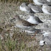 Sharp-tailed sandpiper. Non-breeding adult with wrybill flock. Miranda, March 2009. Image © Craig Steed by Craig Steed
