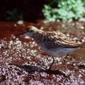 Sharp-tailed sandpiper. Side view of juvenile. Snares Islands, November 1986. Image © Colin Miskelly by Colin Miskelly