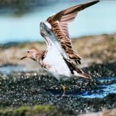 Pectoral sandpiper. Adult with wings raised. Manawatu River estuary, November 1998. Image © Alex Scott by Alex Scott