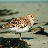 Pectoral sandpiper. Adult. Manawatu River estuary, November 1998. Image © Alex Scott by Alex Scott