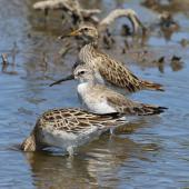 Pectoral sandpiper. Adult in non-breeding plumage (rear) with curlew sandpiper and sharp-tailed sandpiper (latter with head in water). Tolderol Game Reserve, South Australia, January 2018. Image © John Fennell by John Fennell