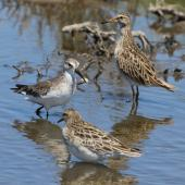 Pectoral sandpiper. Adult in non-breeding plumage (right rear) with curlew sandpiper (left) and sharp-tailed sandpiper. Tolderol Game Reserve, South Australia, January 2018. Image © John Fennell by John Fennell