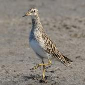 Pectoral sandpiper. Adult . Tolderol Game Reserve, South Australia, February 2018. Image © John Fennell by John Fennell