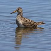 Pectoral sandpiper. Adult in non-breeding plumage. Tolderol Game Reserve, South Australia, January 2018. Image © John Fennell by John Fennell