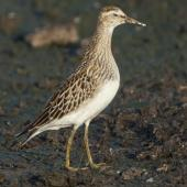 Pectoral sandpiper. Non-breeding adult bird. Manhattan, Kansas, September 2014. Image © David A. Rintoul by David A. Rintoul