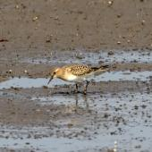 Baird's sandpiper. Fall-plumaged bird. Manhattan,  Kansas,  USA, August 2017. Image © David Rintoul by David Rintoul