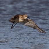 Baird's sandpiper. Non-breeding adult in flight. Nairns-Coodanup [Mandurah], Western Australia, December 2016. Image © William Betts 2016 birdlifephotography.org.au by William Betts