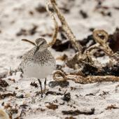 White-rumped sandpiper. Adult frontal view on sand. Volunteer Point, Falkland Islands, November 2018. Image © Glenda Rees by Glenda Rees https://www.facebook.com/NZBANP/https://www.flickr.com/photos/nzsamphotofanatic/