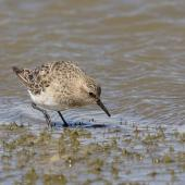 White-rumped sandpiper. Juvenile feeding at lakeside. Laguna Nimez, El Calafate, Argentina, November 2018. Image © Glenda Rees by Glenda Rees https://www.facebook.com/NZBANP/https://www.flickr.com/photos/nzsamphotofanatic/