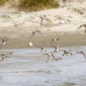 White-rumped sandpiper. Flock in flight. Sea Lion Island, Falkland Islands, November 2018. Image © Glenda Rees by Glenda Rees https://www.facebook.com/NZBANP/https://www.flickr.com/photos/nzsamphotofanatic/
