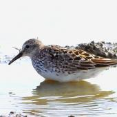 White-rumped sandpiper. Adult in breeding plumage. Freiston Shore, Lincolnshire, England, August 2019. Image © Alan Shaw by Alan Shaw