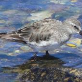 White-rumped sandpiper. Adult, non-breeding. Falkland Islands, December 2008. Image © Tony Crocker by Tony Crocker