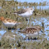 Little stint. Adult in breeding plumage (centre) with red-necked stint front and rear. Embankment Road Lake Ellesmere, November 2019. Image © Steve Attwood by Steve Attwood © Steve Attwood
