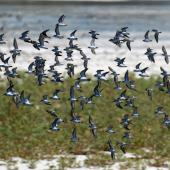 Little stint. Flock in flight (with a single curlew sandpiper near the centre). Seeburg Hide, South Africa, February 2016. Image © Duncan Watson by Duncan Watson