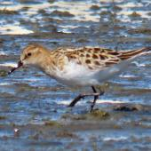 Little stint. Adult. Manukau Harbour, October 2019. Image © Scott Brooks by Scott Brooks