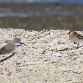 Little stint. Adult (on right) with wrybill. Manukau Harbour, October 2019. Image © Scott Brooks by Scott Brooks