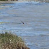 Little stint. Adult in non-breeding plumage in flight. West Coast National Park, South Africa, November 2015. Image © Alan Tennyson by Alan Tennyson