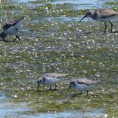 Little stint. Two adults in non-breeding plumage with two curlew sandpipers behind. West Coast National Park, South Africa, November 2015. Image © Alan Tennyson by Alan Tennyson